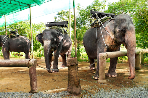 Animals In Thailand. Thai Elephants With Ride Saddles. Travel, Tourism.