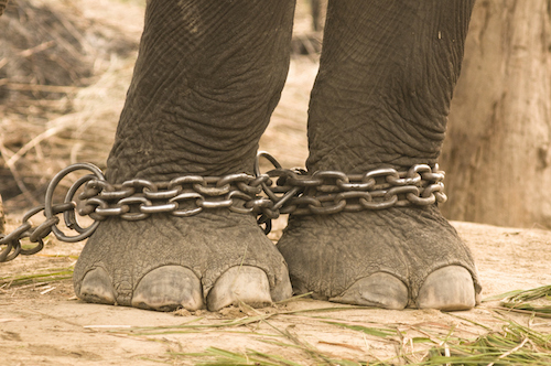 Two elephant legs that have been chained