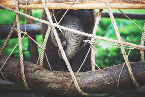Thai Baby elephant in chains