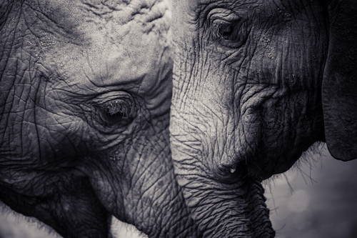 Affection of Elephants