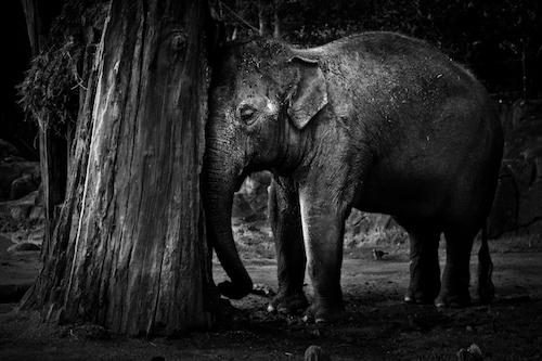 Elephant Black & White