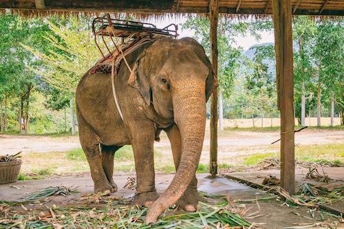 Asian elephant eating green grass